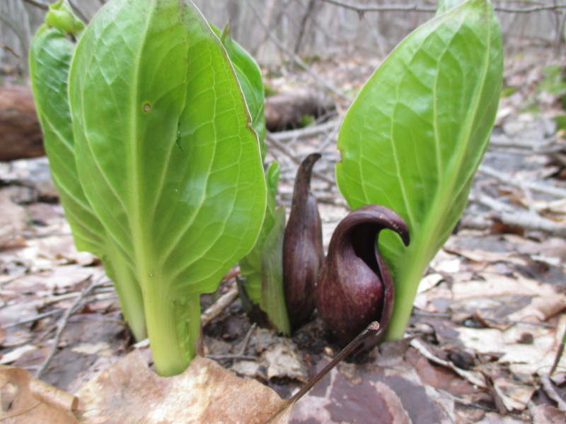 Skunk cabbage is blooming in the Harvard Forest as spring beings to awaken the forest floor.