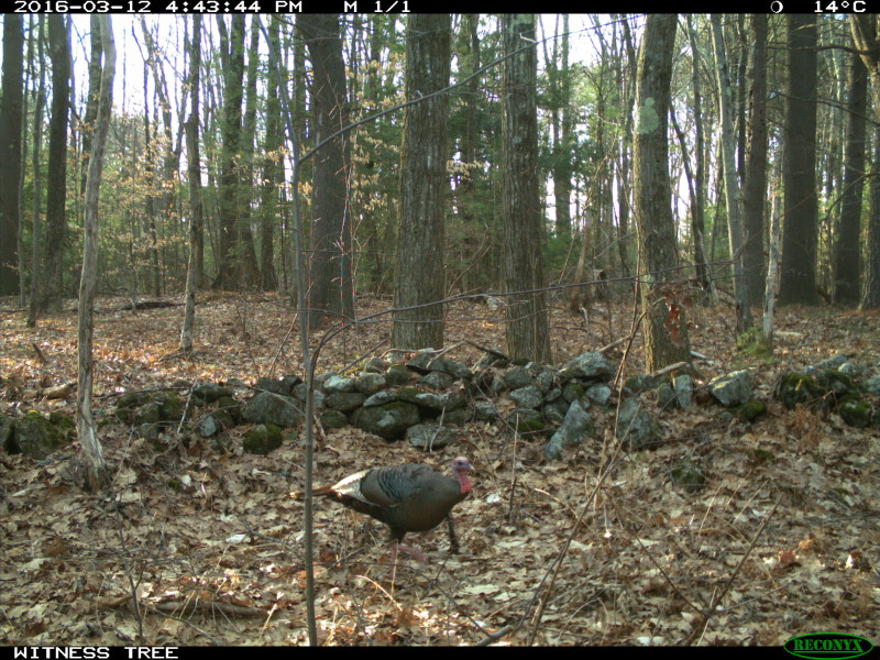 Turkeys graze for acorns underneath the big oak I studied at the Harvard Forest