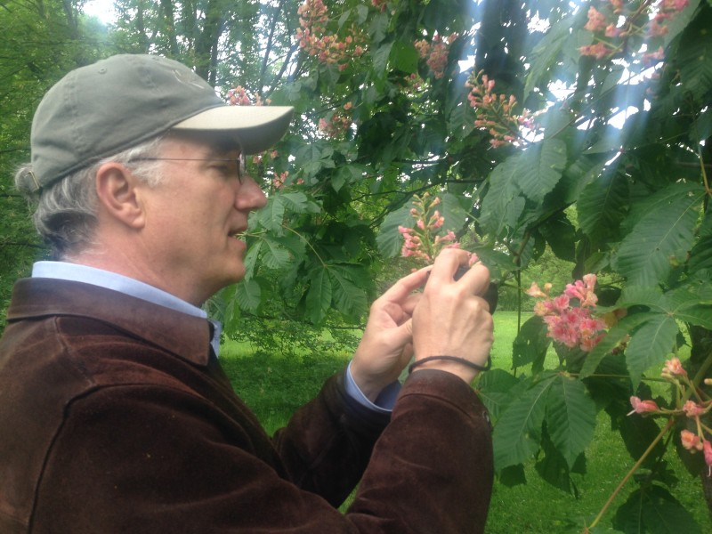 Ned Friedman, director of the Arnold Arboretum, savoring the bloom on a horse chestnut. The collection was in peak flower - a sight not to be missed.