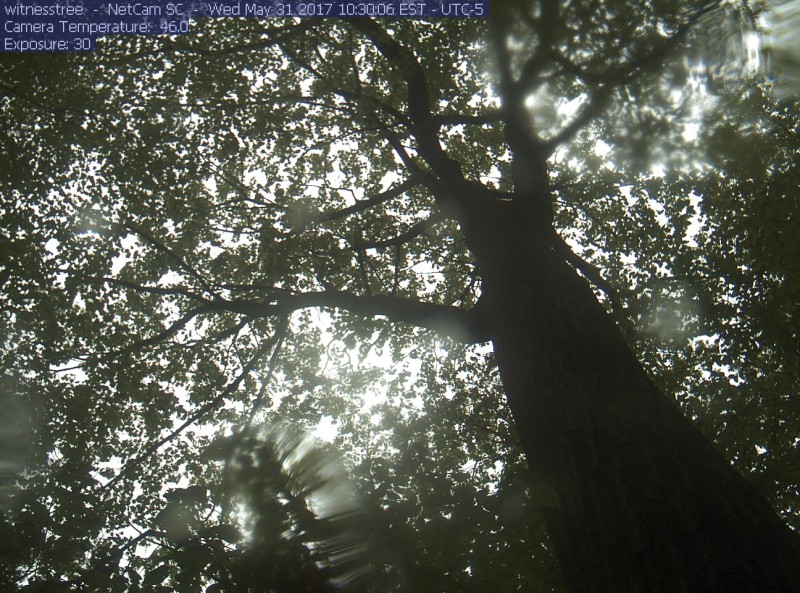 The Witness Tree, captured on the Harvard Forest web cam at its feet this morning, May 31. Notice the rain drops on the camera cover. The tree is now in its glorious green gown of  leaves, ready to work for another season.