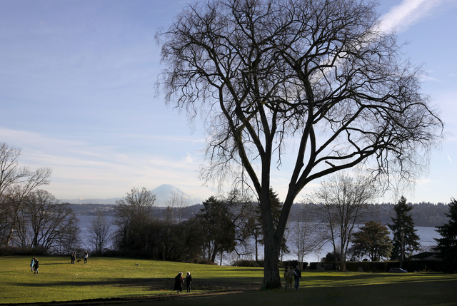 The remaining elm shows the shape of its departed mate, on the left side of the crown. It shows the reach of the arms of the tree it stood next to, for so long. Credit: Ken Lambert, The Seattle Times